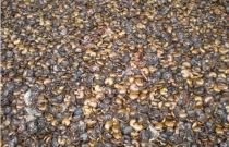 EXTRACTED CASHEW NUT SHELL